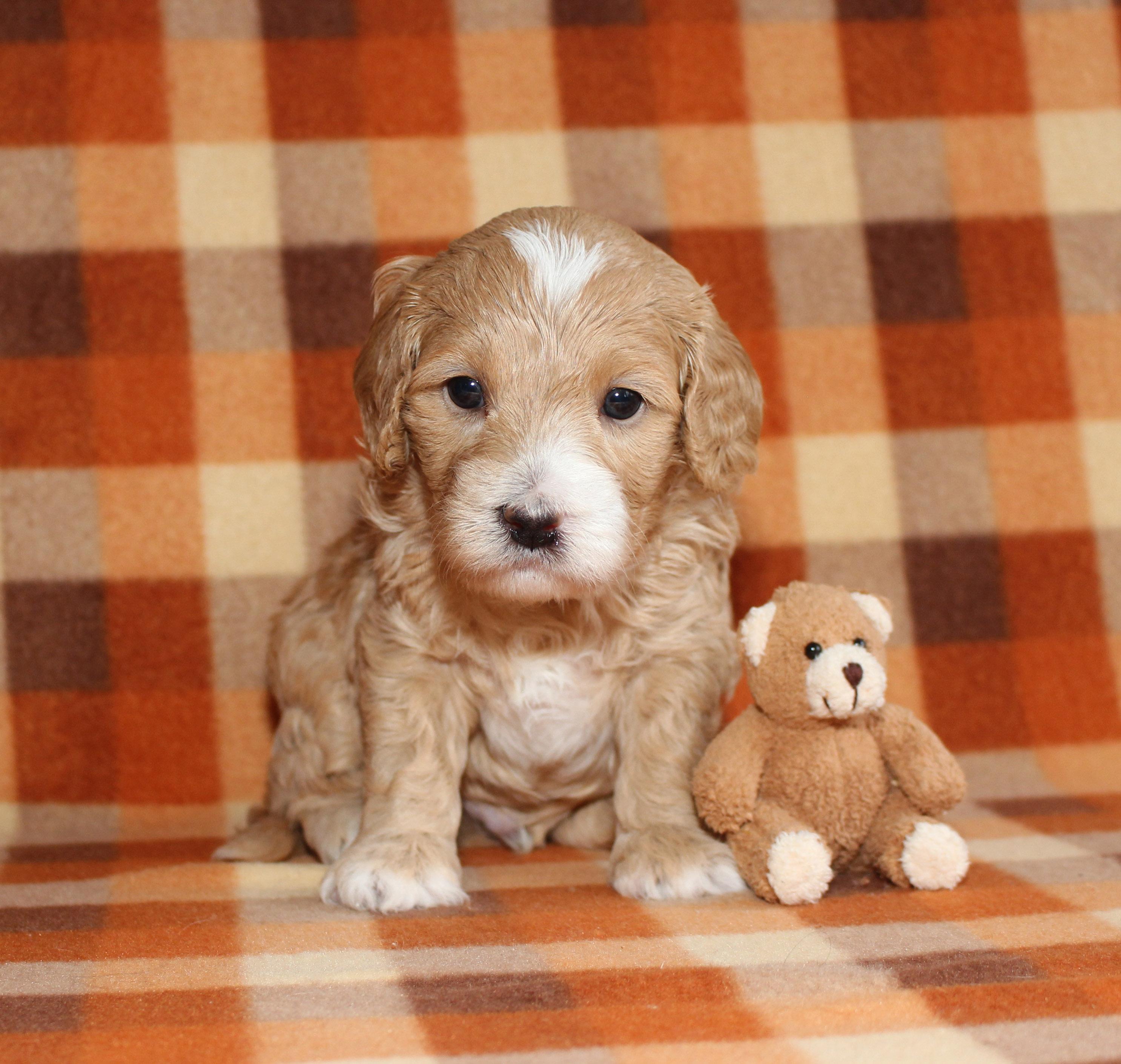 Puppy 5 -- BOY pic 3