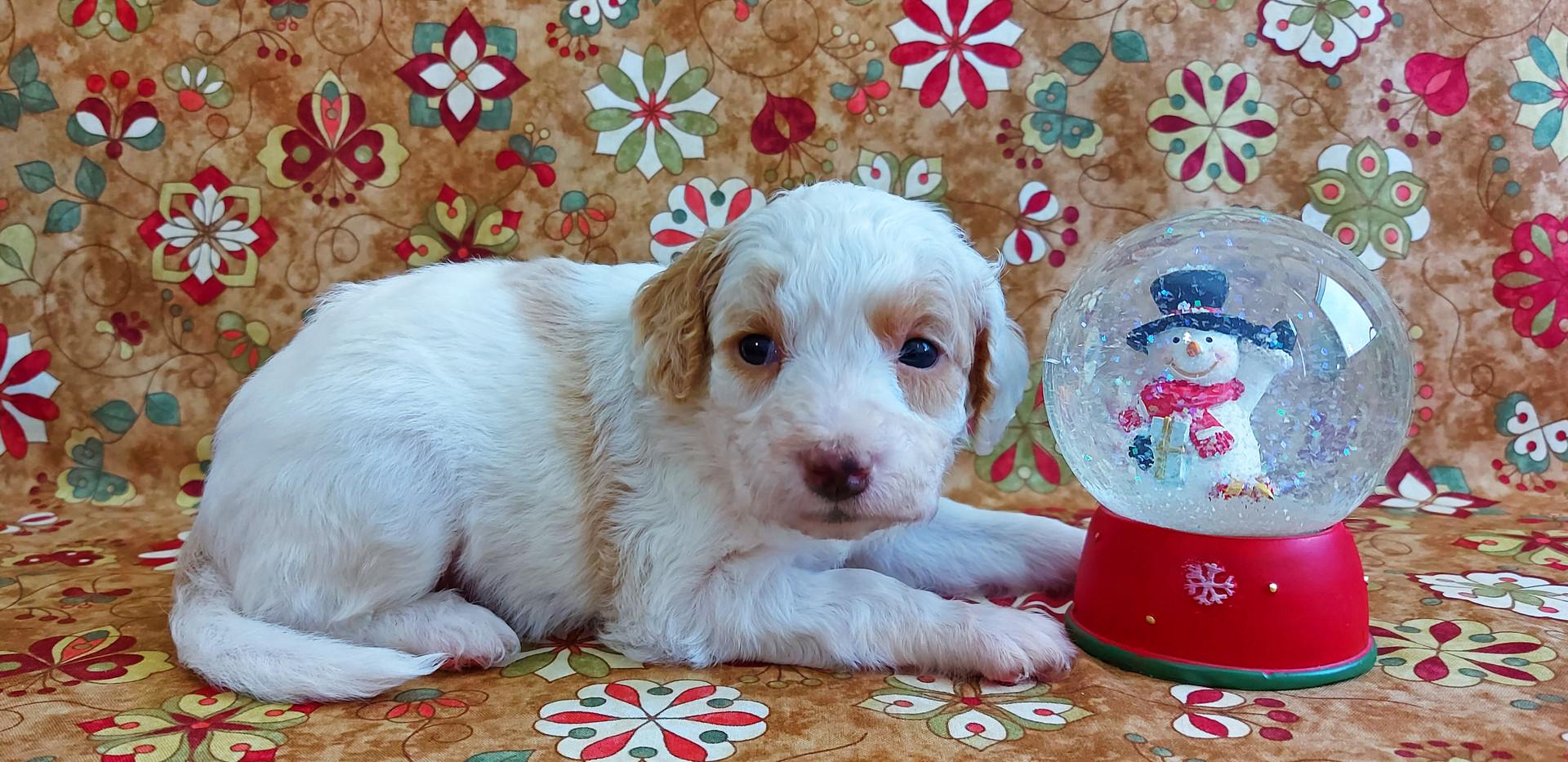 Puppy #4 -- GIRL