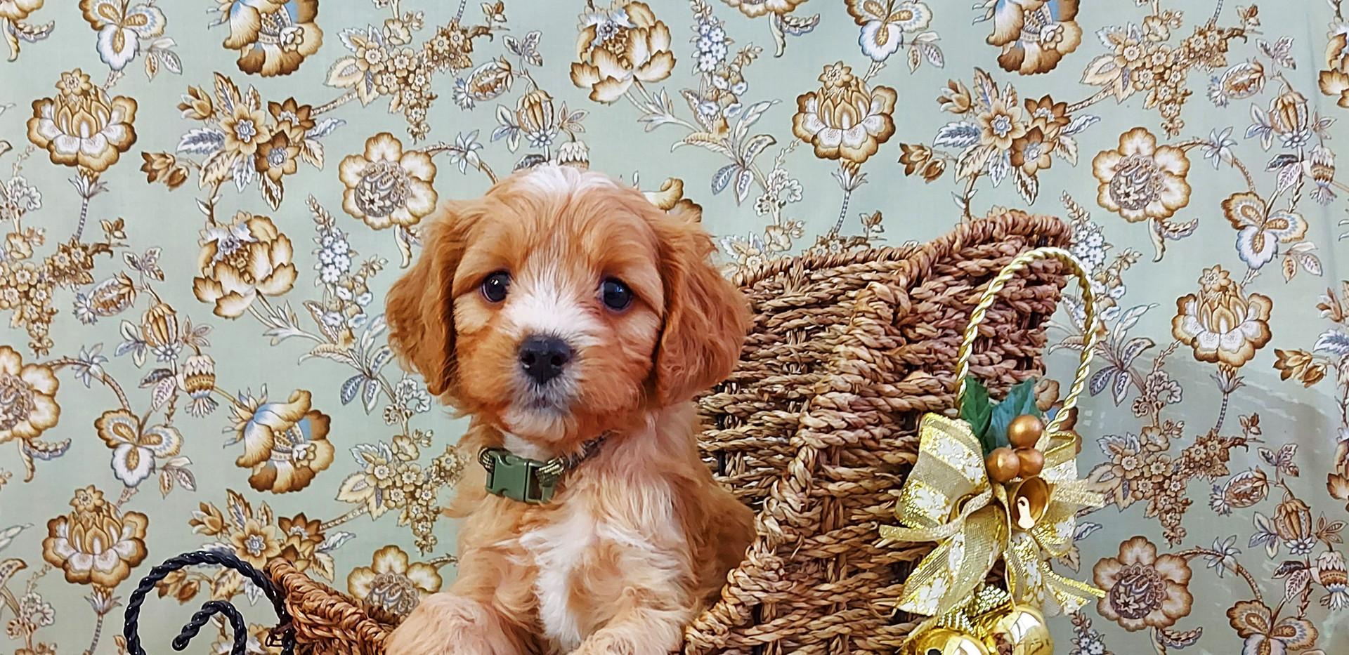 Puppy #3 BOY -- Leo