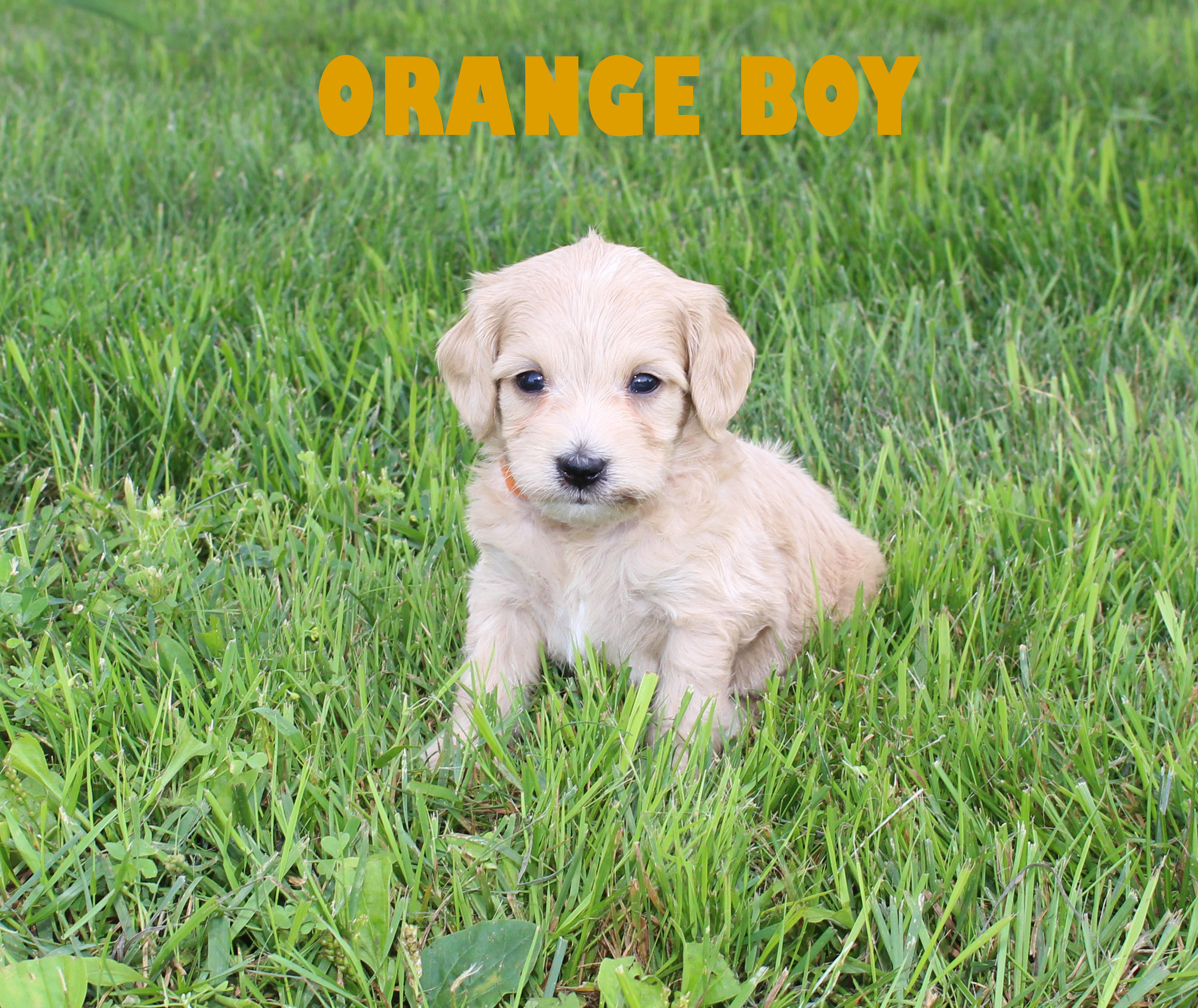Orange BOY -- 4 weeks old
