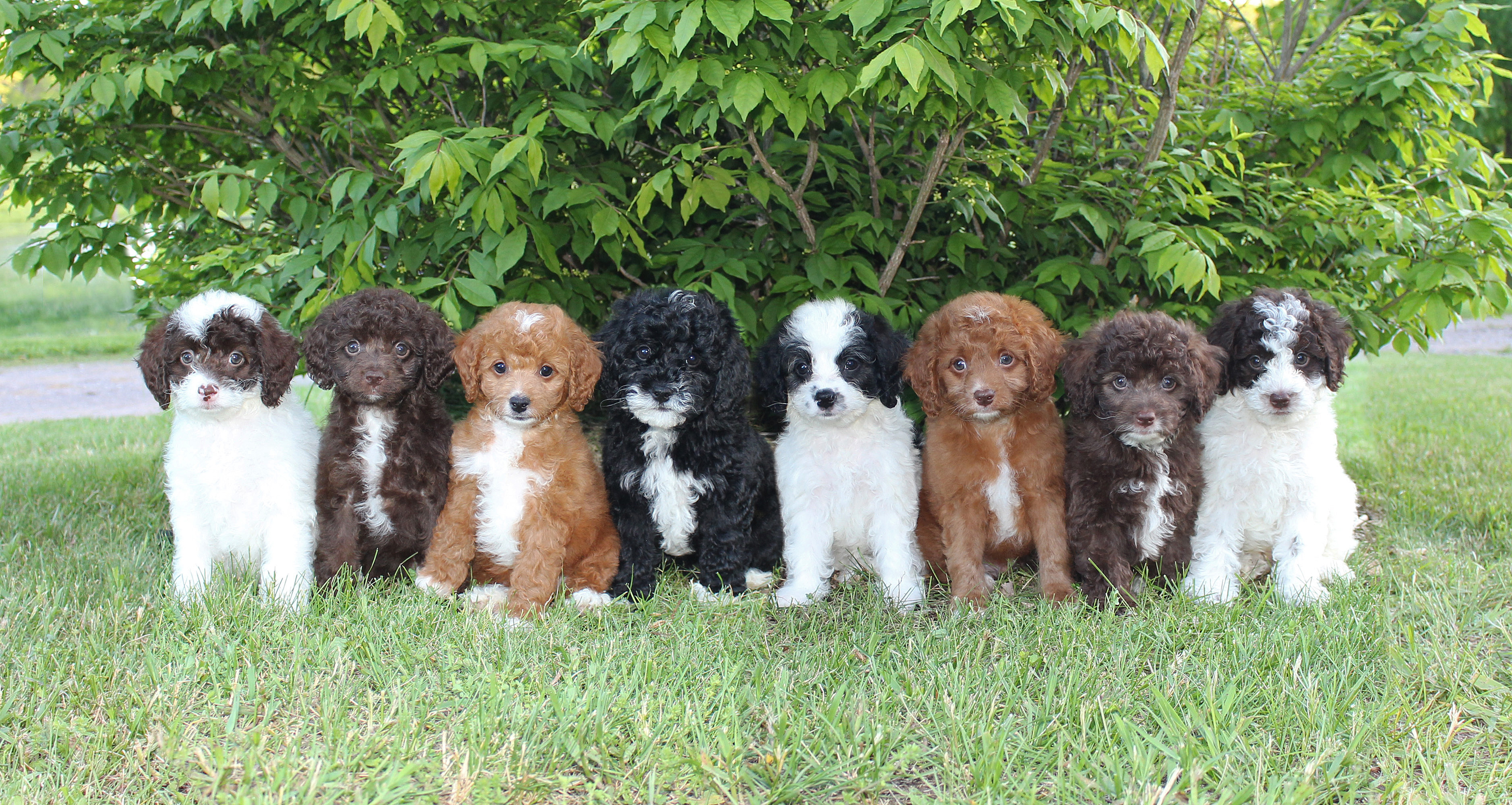 Pleasant Meadows | Home | Cavapoo Puppies