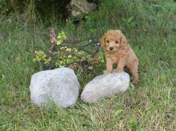 Wilbur (Blue Boy) -- 6 weeks old pic 2