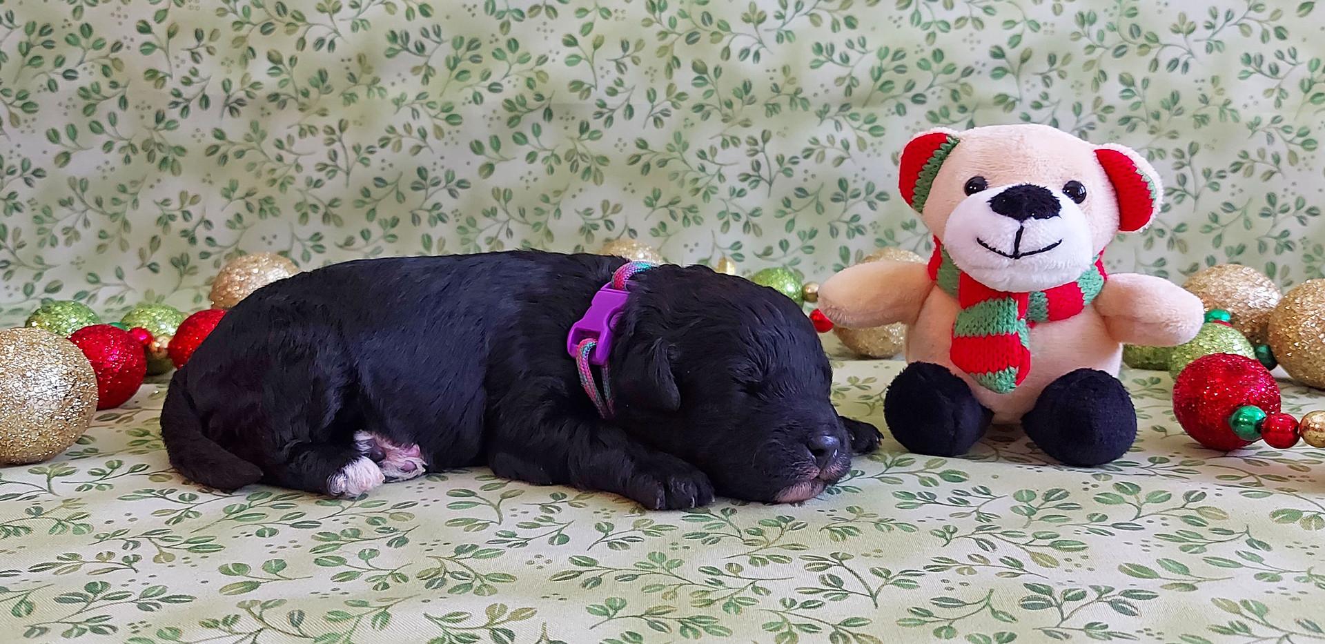 Puppy #7 -- GIRL