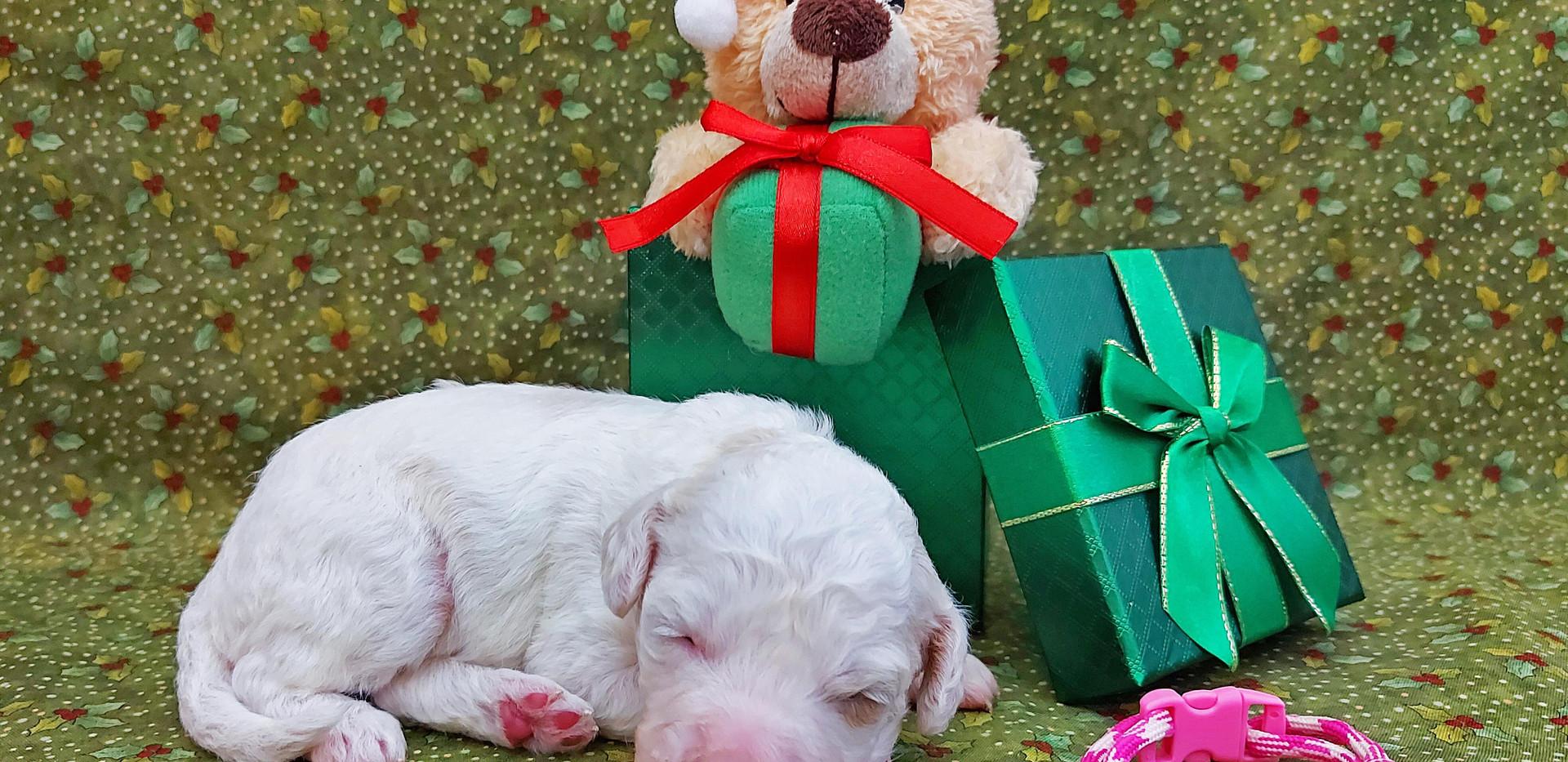 Puppy #5 -- GIRL