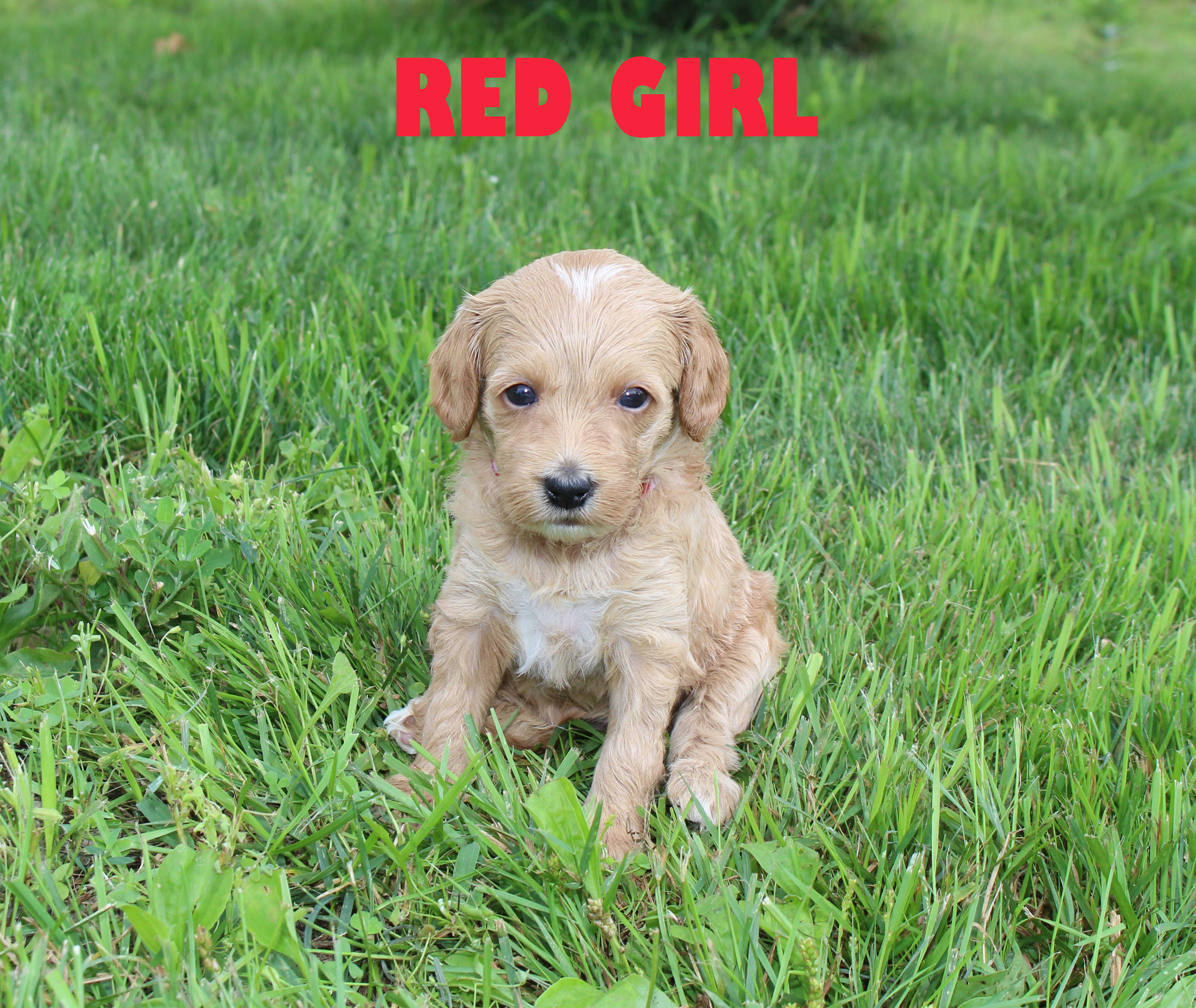 Red GIRL -- 4 weeks old