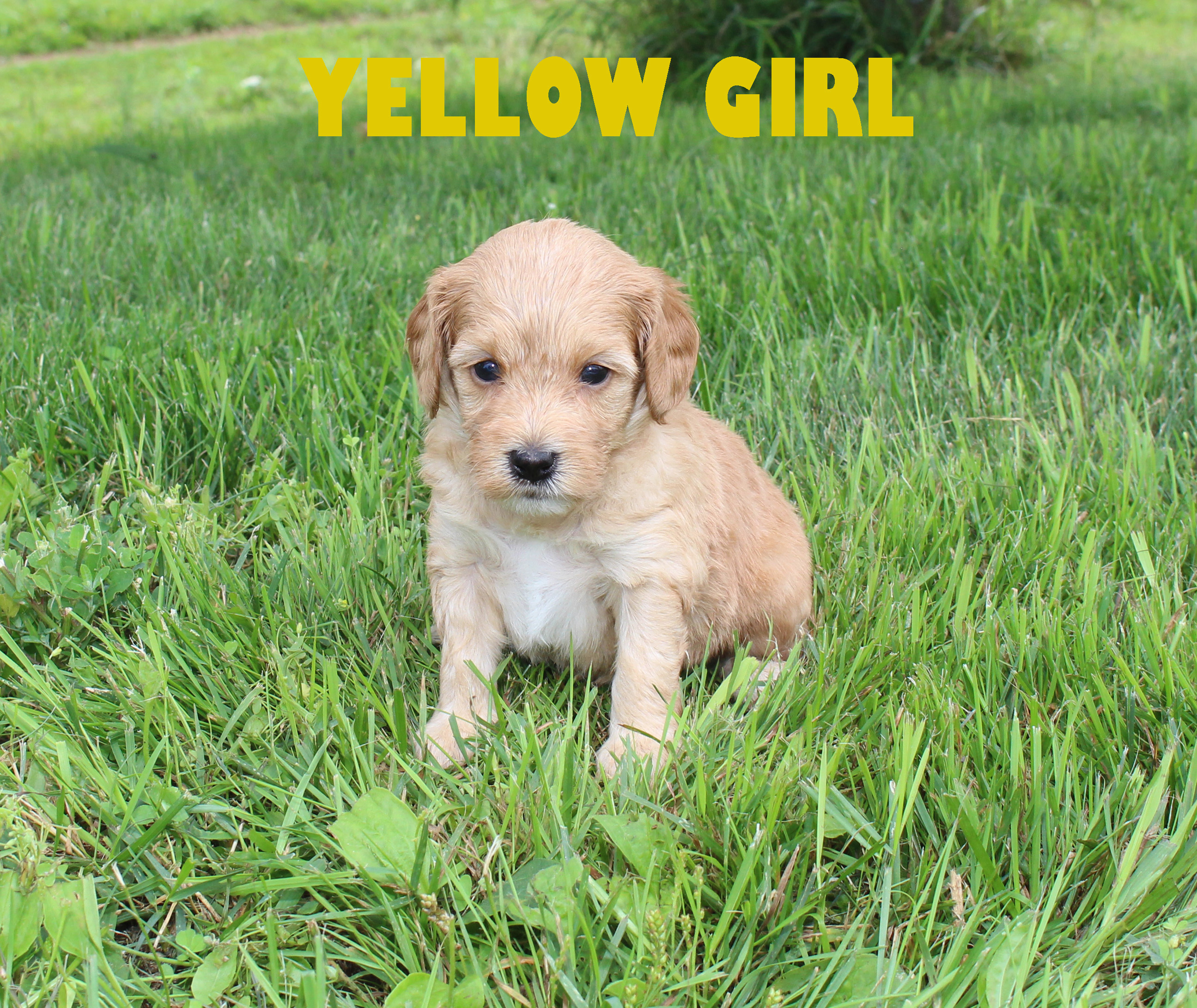 Yellow GIRL -- 4 weeks old