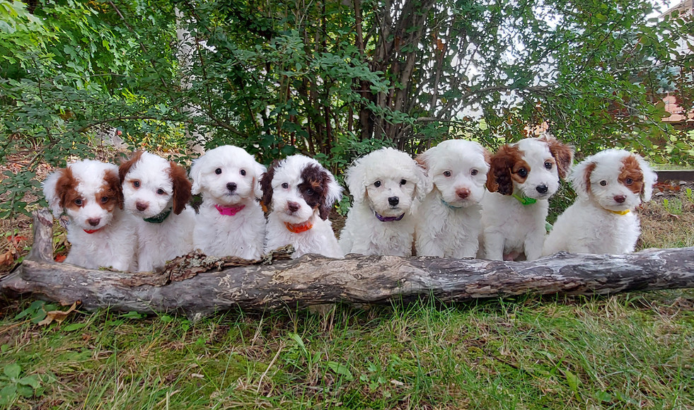 Lydia and Arlo's 2020 Puppies