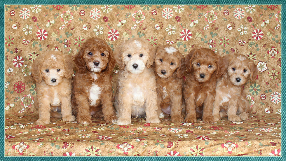 Norah and Trenton's 2018 litter -- 8 wee