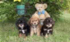 Holly X Cabello's Puppies -- 8 week old
