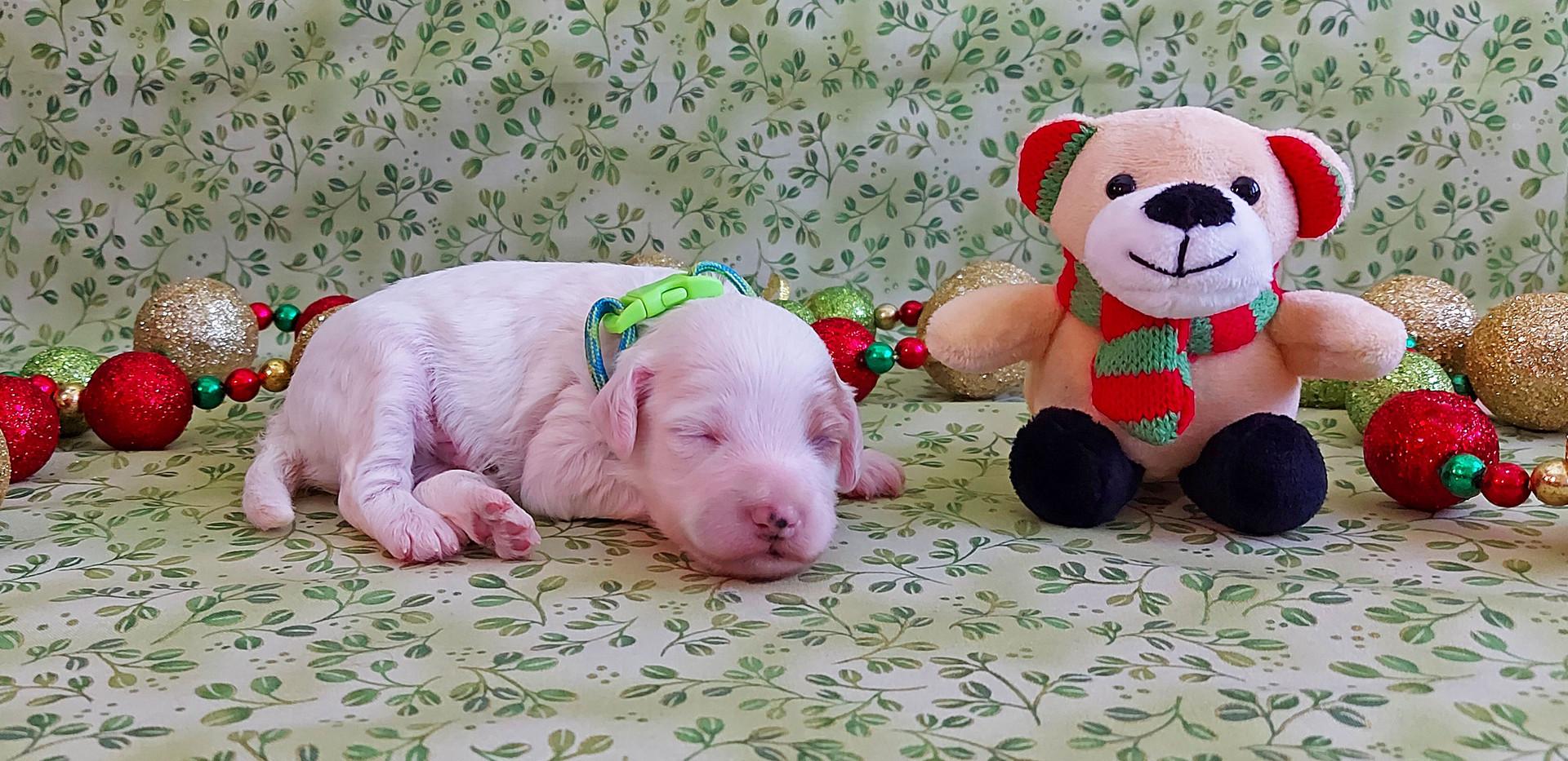 Puppy #6 -- BOY