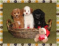 Amelia and Trenton's puppies -- 8 weeks