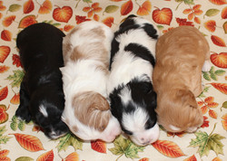 Adelle and Samuel's 2019 Litter