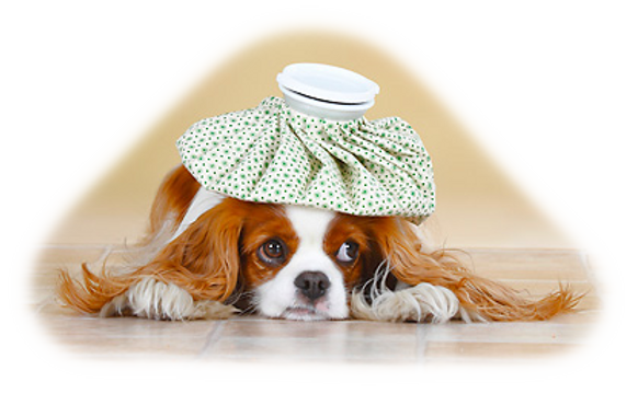 Should I get pet insurance for my Cavapoo?
