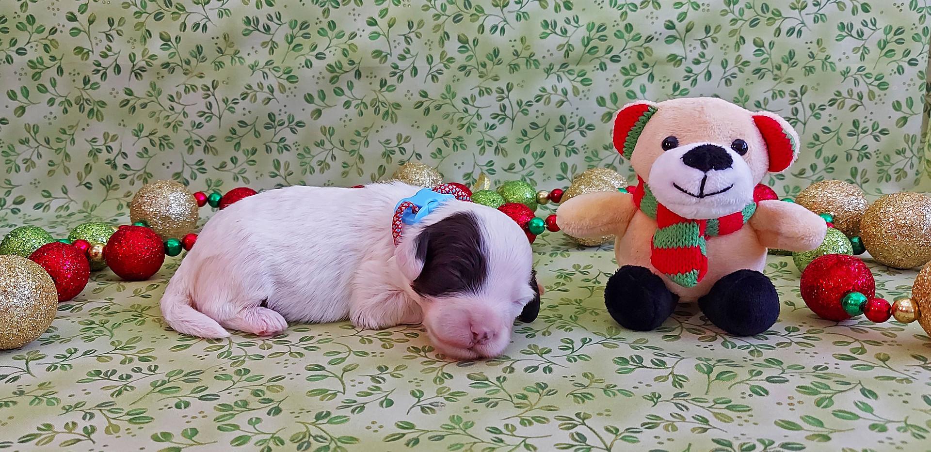 Puppy #4 -- BOY
