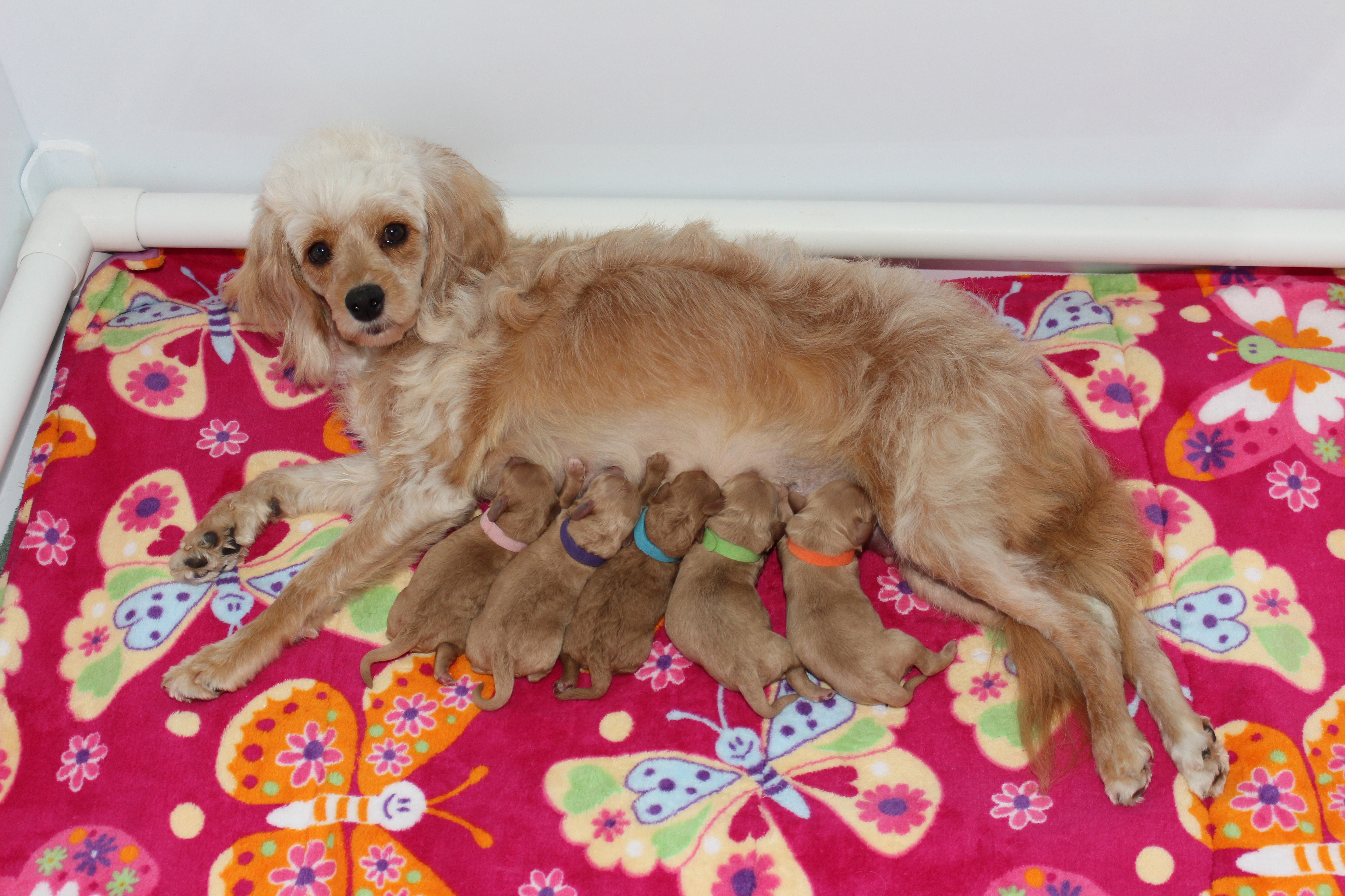 Daphne and Trenton's 2018 litter