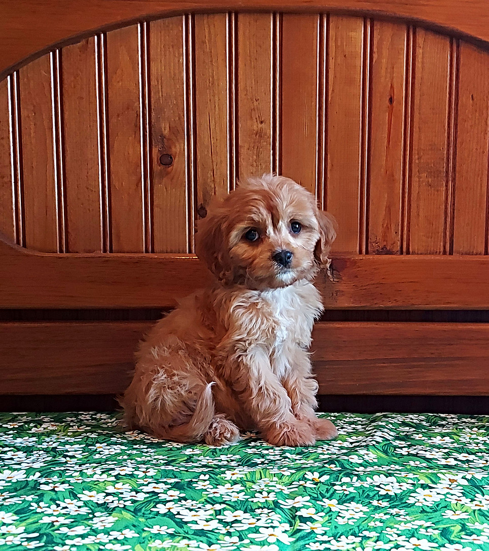 Ginger -- 8 weeks old pic 2