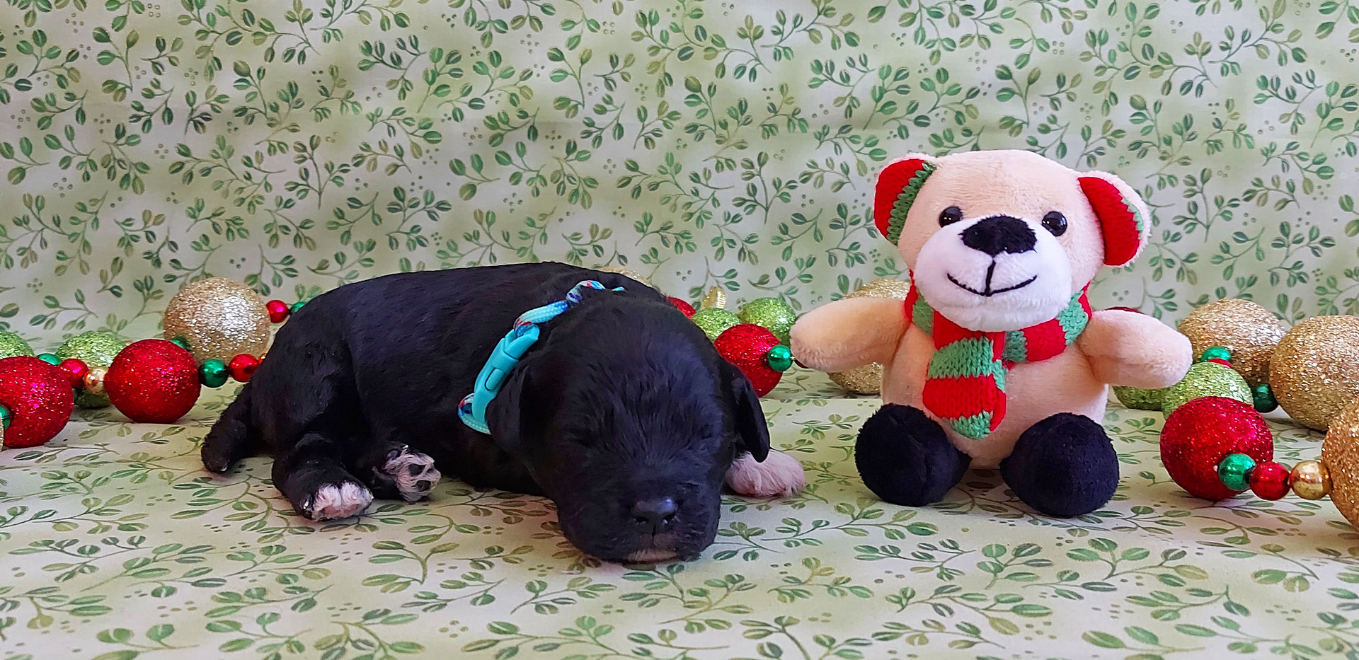 Puppy #2 -- BOY