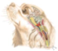 The truth about Syringomyelia in the Cavalier