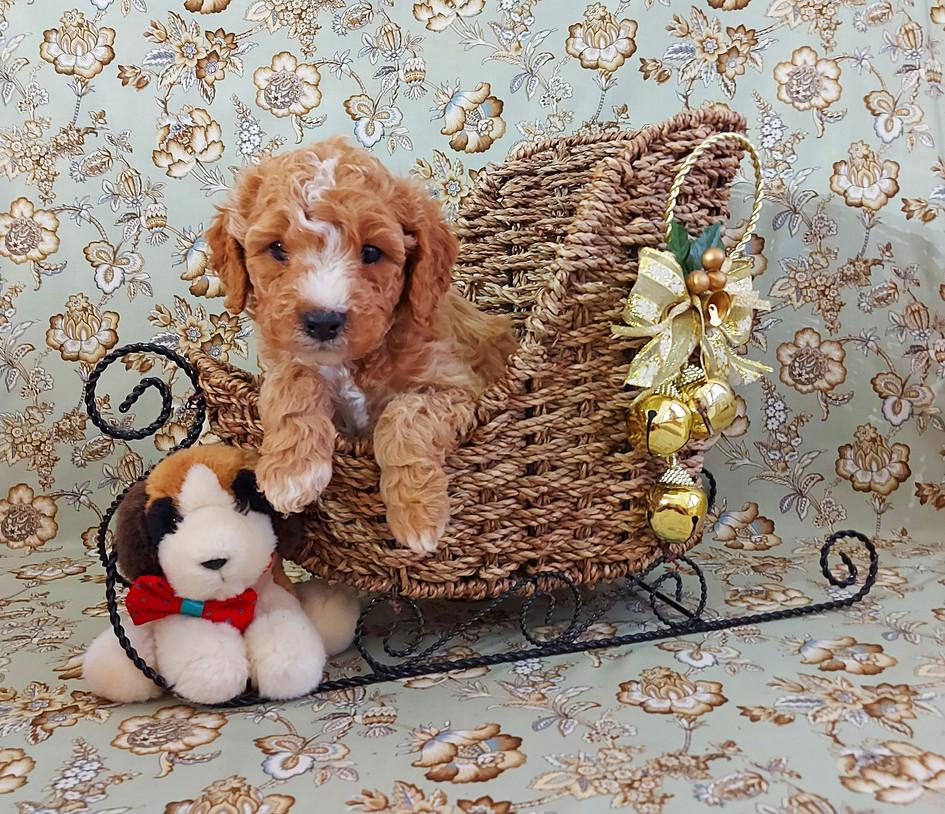 Puppy #2 BOY -- Arlo