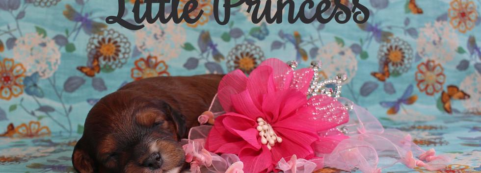 Sable Phantom Girl -- 2 weeks old