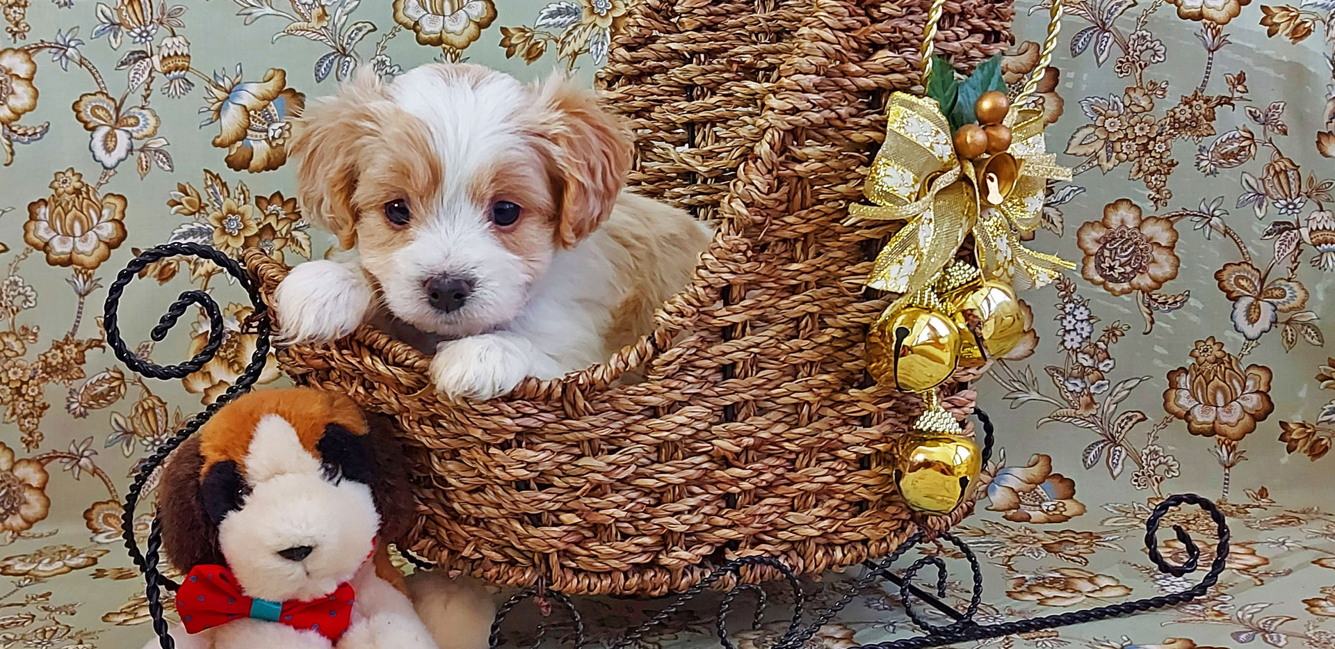 Puppy #1 GIRL -- Mila