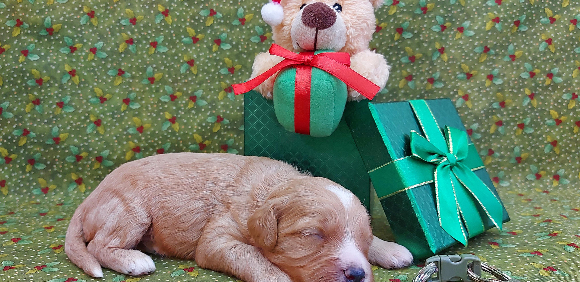 Puppy #3 -- BOY