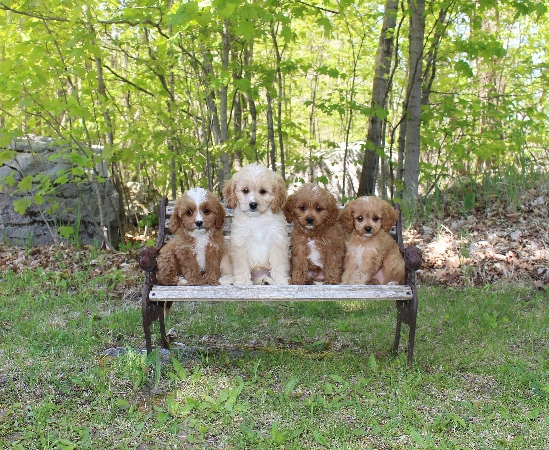 Pearl & Cabello's 2020 Puppies