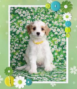 Finn ~ Yellow Collar BOY