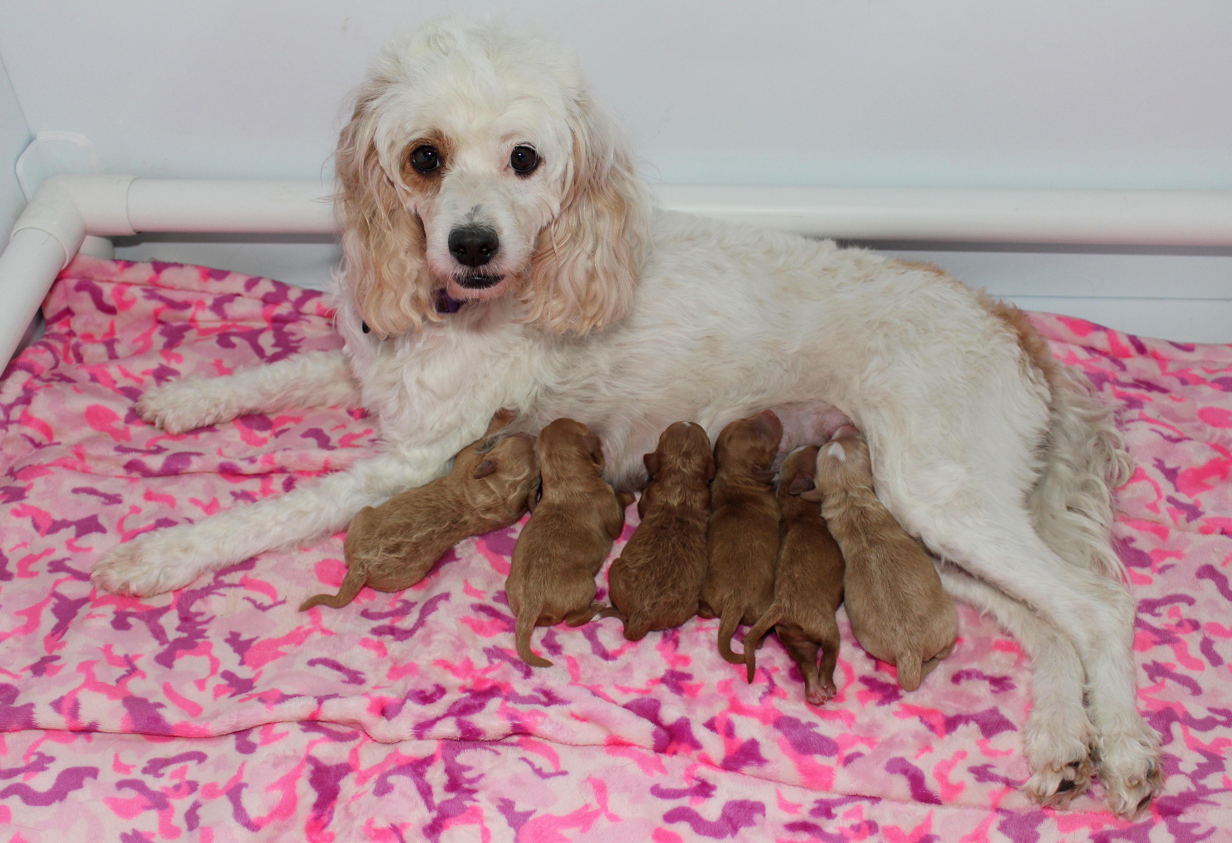 Norah X Trenton's 2018 Puppies