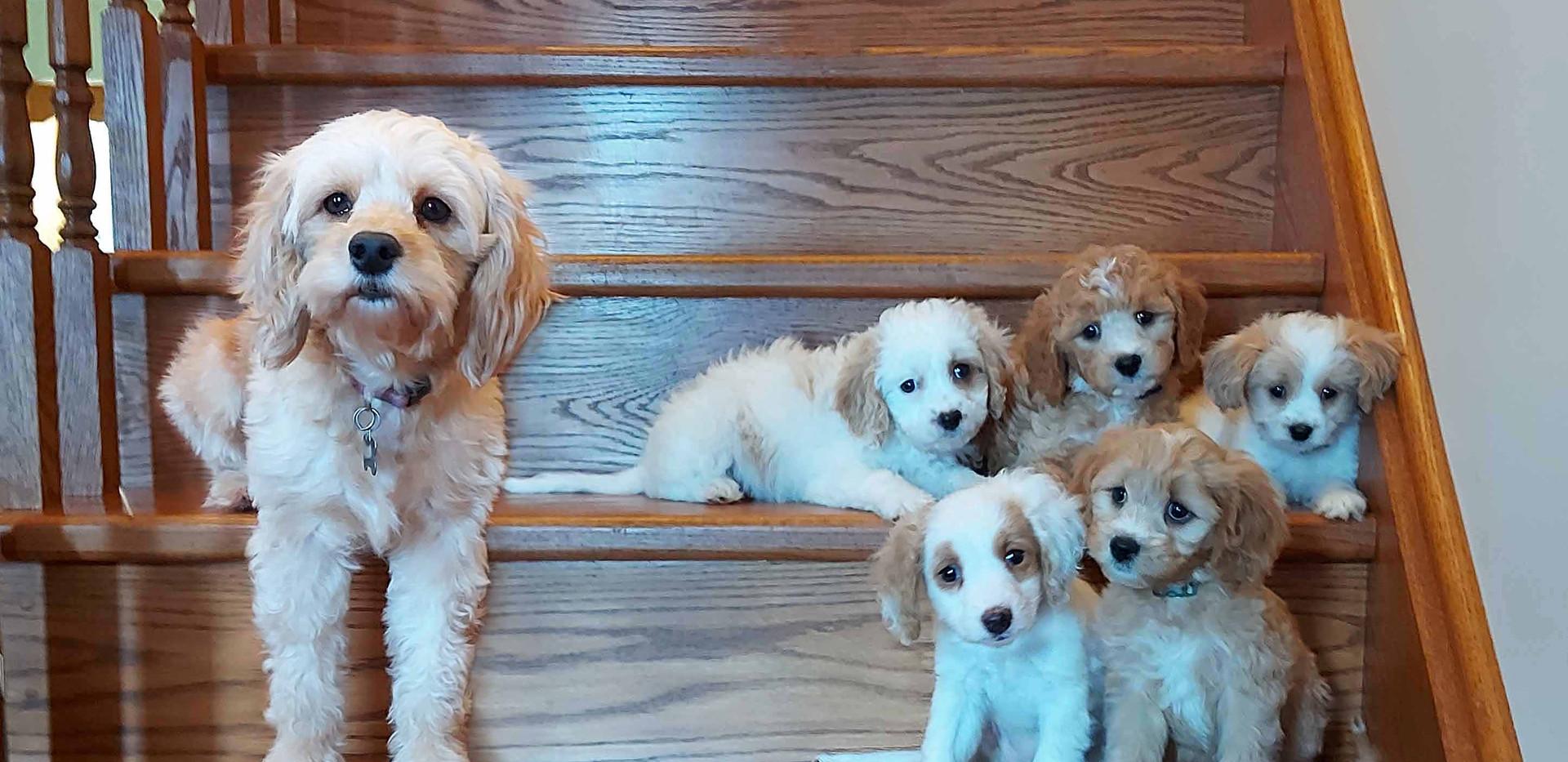 Daphne's 2020 Puppies -- 8 weeks old
