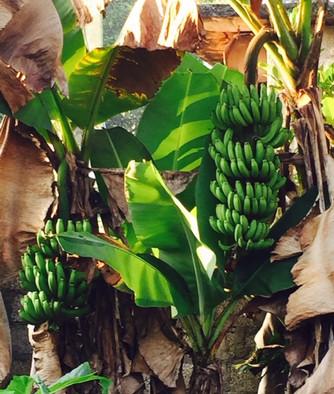 Banana back home.jpg