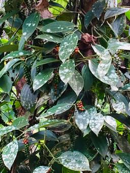 Black Pepper Tree Back Home (1).jpg