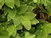 Hookeria lucens_Gey.JPG