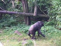 zoo animal welfare chimpanzee