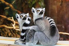 Ringtaled lemurs
