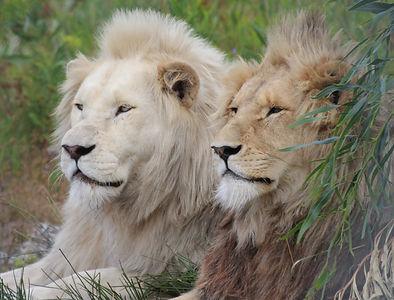 white lions Panthera Africa
