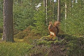 wild red squirrel