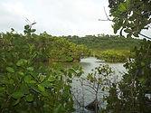 Mangrove habitat.JPG
