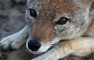 black-backed jackal Panthera Africa