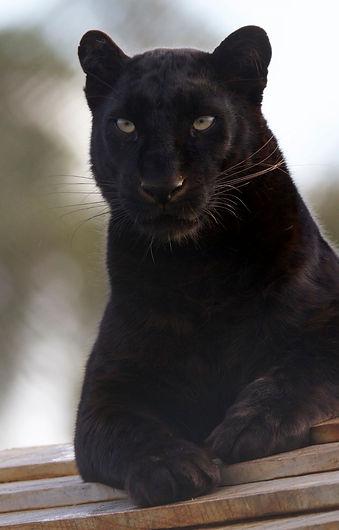balck leopard  Panthera Africa