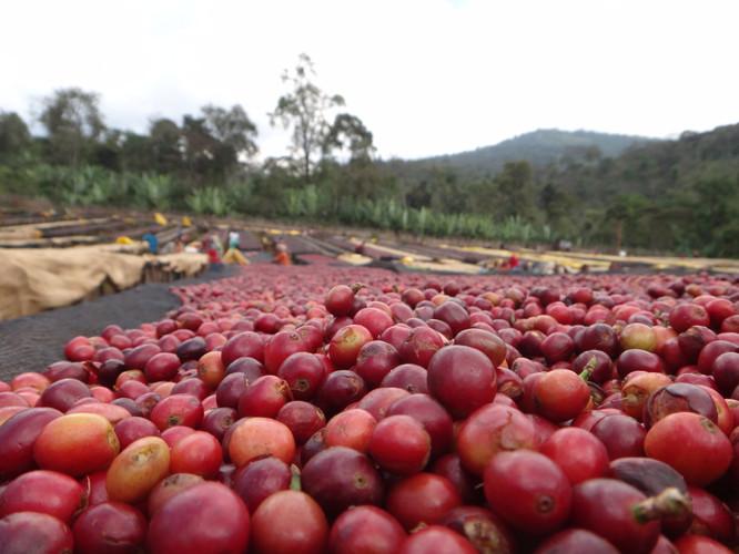 Kochere Wetmill - Yirgacheffe region, Ethiopia