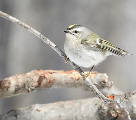 Golden-crowned Kinglet 3.18.jpg