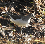 10.12 Solitary Sandpiper.png