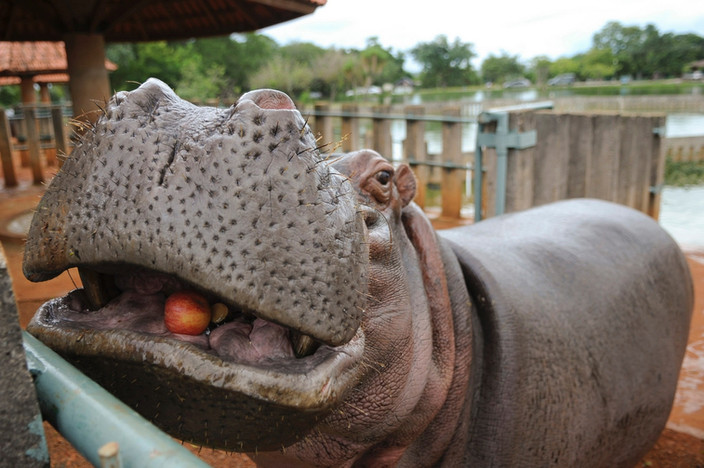 Yully, a hipopótamo.jpg