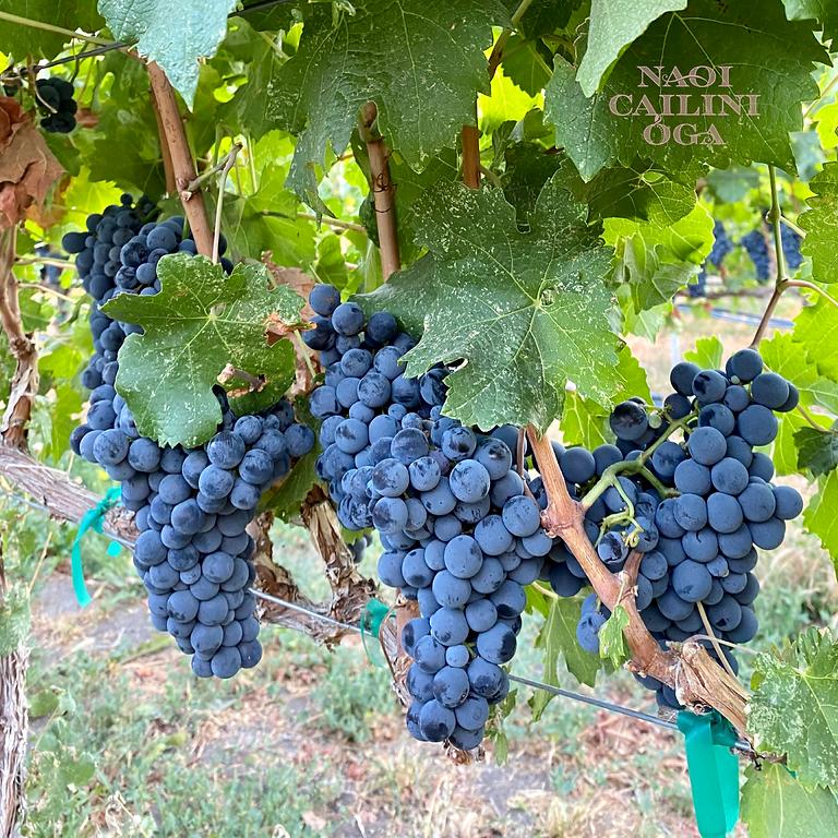 NCO Winemaker's Picnic in the Vineyard