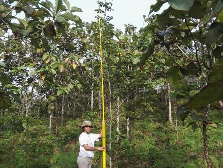"Curing ""Teak Fever"" in Panama through Smart Reforestation"