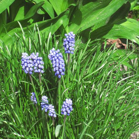 grape hyacinths.JPG
