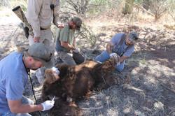 Bear Capture 2