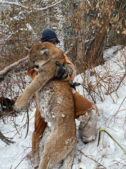 Best Mountain Lion Hunting in the United States