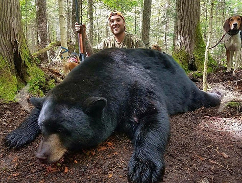 Maine Black Bear Hunts Baited or with Hounds